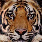 Yi King – Hexagramme 10 : Une histoire de tigre à Paris